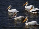 American White Pelicans, Klamath Basin Refuge Complex, Oregon Photographic Print by Phil Schermeister