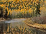 Larch Trees Reflect into McDonald Creek, Glacier National Park, Montana, USA Photographic Print by Chuck Haney