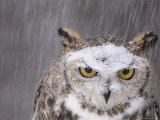 A Captive Great Horned Owl at a Recovery Center Fotografisk tryk af Joel Sartore