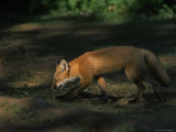 Red Fox at Isle Royale National Park, Michigan Photographic Print by Phil Schermeister