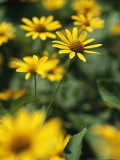 An Individual Daisy Stands Isolated in a Field of Summer Flowers Photographic Print by Taylor S. Kennedy