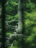 Four Immature Great Blue Herons Sit on a Nest Photographic Print by Taylor S. Kennedy