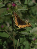 Butterfly on the Stem of a Clover Blossom, Isle Royale National Park, Michigan Photographic Print by Phil Schermeister