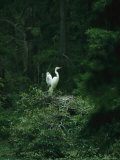 A Pair of Snowy Egrets Sit on a Nest in a Swamp in Georgia Photographie par Taylor S. Kennedy