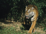 A Mature Tiger Walks Through a Shaft of Sunlight Photographic Print by Taylor S. Kennedy