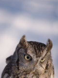 A Captive, Endangered Eastern Screech Owl at a Raptor Recovery Center Photographic Print by Joel Sartore