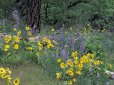 Balsam Root and Lupines Among Oregon White Oak and Pacific Ponderosa Pine, Rowena, Oregon, USA Photographic Print