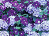 Hydrangea and Clematis, Issaquah, Washington, USA, Photographic Print by Darrell Gulin
