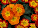 Orange Primroses Pattern, Washington, USA Photographie