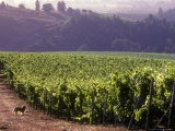 Dog in Knutsen Vineyard, Willamette Valley, Oregon, USA Photographic Print by Janis Miglavs