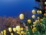 Yellow Tulips, Cincinnati, Ohio, USA Photographic Print by Adam Jones