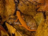 Red-Spotted Newt or Eastern Newt, Salamander, Bennington, Vermont, USA Fotografisk trykk av Joe Restuccia III