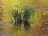 Tuft of Grass in Deerfield River, Green Mountain National Forest, Vermont, USA Photographic Print by Adam Jones