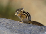 Yellow-Pine Chipmunk Feeding, Mt. Rainier National Park, Washington, USA Lámina fotográfica