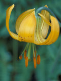 Tiger Lily, Olympic National Park, Washington, USA Photographic Print by William Sutton