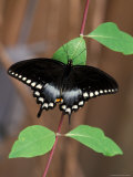 Spicebush Swallowtail on Vine Leaf, Woodland Park Zoo, Washington, USA Photographic Print