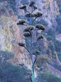 Agave, Century Plant, Big Bend National Park, Texas, USA Photographic Print by William Sutton