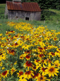 Hirta Daisy and Barn, Waits River, Vermont, USA Photographic Print by Darrell Gulin