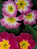 Primroses, Washington, USA Photographie