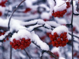 Snow on Mountain Ash Berries, Utah, USA Photographic Print by Howie Garber