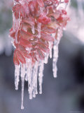 Ice on Smooth Sumac Tree, Bend, Oregon, USA Photographic Print