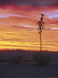 Yucca Plant, White Sands, New Mexico, USA Photographic Print by Dee Ann Pederson