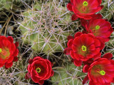 Claret Cup Cactus Flowering on Gooseberry Mesa, Utah, USA Photographic Print by Chuck Haney