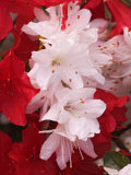 Red and White Azaleas, Townsend, Tennessee, USA Photographic Print by Adam Jones
