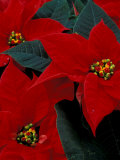 Red Poinsettia, Washington, USA Photographic Print