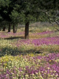 Sand Verbena and Brown-Eyed Primrose, Texas, USA Photographie par Adam Jones