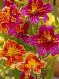 Salpiglossis-Painted Tongue, Seattle, Washington, USA Photographic Print by Terry Eggers