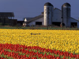 Field of Tulips and Barn with Silos, Skagit Valley, Washington, USA Photographic Print by William Sutton