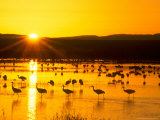 Sandhill Crane Sunrise, Bosque del Apache, New Mexico, USA Photographic Print by Rob Tilley