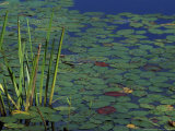 Pond Water Lilies, Brookline, New Hampshire, USA Photographic Print by Jerry & Marcy Monkman