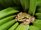 Pacific Tree Frog, Umatilla National Forest, Oregon, USA Photographic Print by Gavriel Jecan