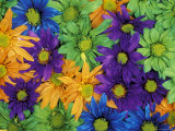 Colorful Daisies, Washington, USA Photographic Print