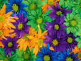 Colorful Daisy Collage, Washington, USA Fotografie-Druck