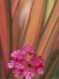 Verbena and New Zealand Flax, Sammamish, Washington, USA Photographic Print by Darrell Gulin