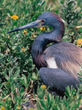 Tricolored Heron, Texas, USA Photographic Print by Dee Ann Pederson