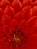 Red Dahlia Petals, Bellevue Botanical Garden, Washington, USA Photographic Print