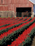Tulip Field and Barn with Horses, Skagit Valley, Washington, USA Photographic Print by William Sutton