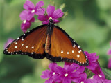 Queen Butterfly on Verbena, Woodland Park Zoo, Seattle, Washington, USA Photographic Print by Darrell Gulin