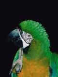 Green and Gold Macaw, Galveston Botanical Garden, Moody Gardens, Texas, USA Fotografie-Druck von Dee Ann Pederson