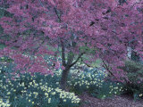 Ohame Cherry Tree in Bloom, Seattle Arboretum, Washington, USA Photographic Print