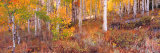 Aspen Grove Autumn Color, Logan Canyon, Utah, USA Photographic Print by Terry Eggers