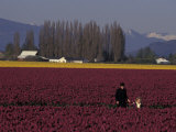 Skagit Valley Tulip Festival in April, Washington, USA Photographic Print by Connie Ricca