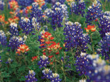 Bluebonnets and Paintbrush, Hill Country, Texas, USA Fotografisk tryk af Dee Ann Pederson