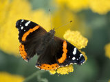 Red Admiral on Butterfly Bush Leaf, Woodland Park Zoo, Washington, USA Photographic Print
