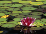 Water Lily Bloom, Woodland Park Rose Garden, Seattle, Washington, USA Photographic Print by Darrell Gulin