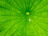 Lotus with Dew Drop, North Carolina, USA Photographic Print
